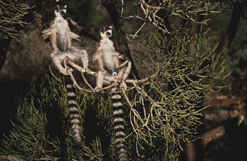 Pair of ring-tailed lemurs in tree
