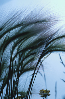 Stalks of wheat blowing in the wind