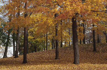 Autumn foliage in forest