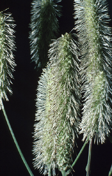 Blooming timothy grass