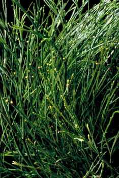 Grass with yellow tips