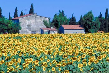Blooming field of yellow sunflowers