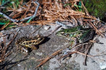 Pickerel frog (left) and leopard frog (right)