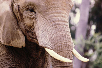 Face and tusks of an elephant
