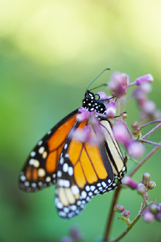 Monarch butterfly pollinating flowerbuds