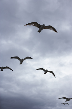 Soaring seagulls against cloudy sky
