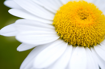 Cropped close-up of daisy flower