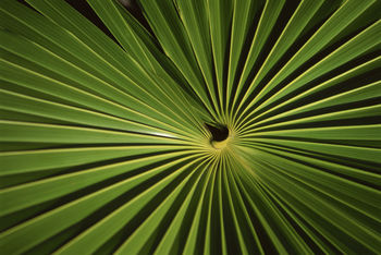 Radiating Pattern of Palm Frond