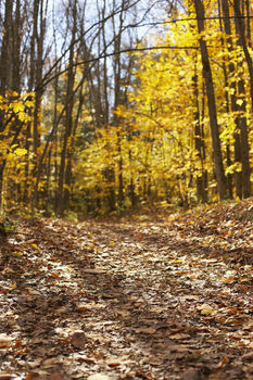 Wide trail through beech forest in autumn