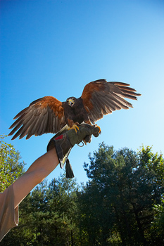 Falcon perched on hand of trainer