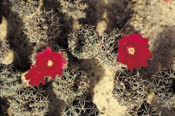 Blooming Red Flowers on Cactus