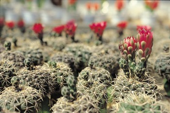 Blooming Red Flowers on Cactuses