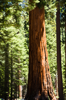 Giant sequoias in forest, Sequoia National Park, California
