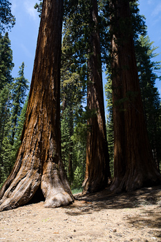 Giant sequoia trees in forest, Yosemite National Park, California