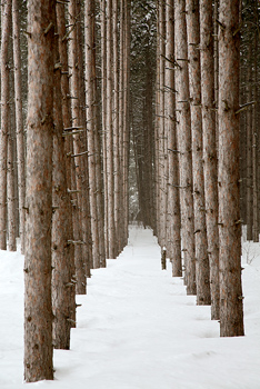 Snow surrounding pine trees in forest