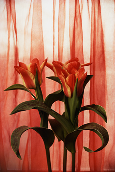 Red tulips in front of curtain
