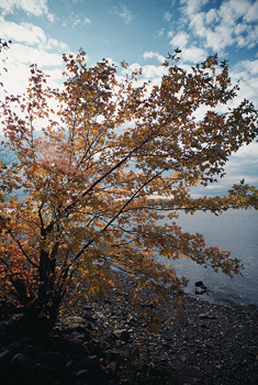 Autumn leaves on tree by lake shore