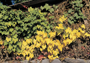 Colorful grape leaves in autumn