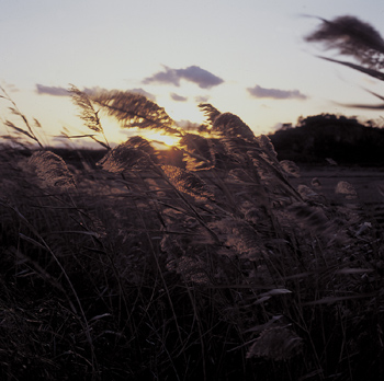 Tall grass blowing in wind at sunset