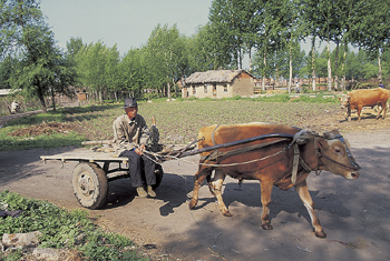 Farmer riding on cart pulled by ox