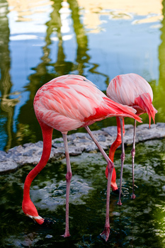 Pair of flamingoes feeding
