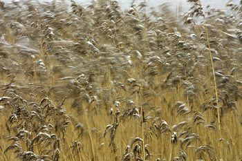 Grains blowing in wind