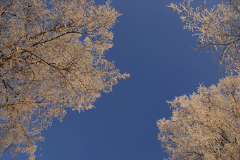 Frozen treetops in blue sky