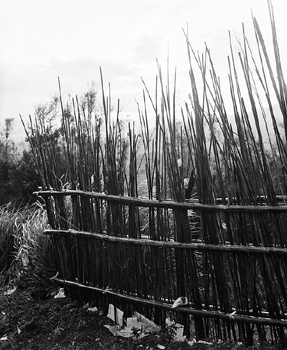 Bamboo growing behind fence