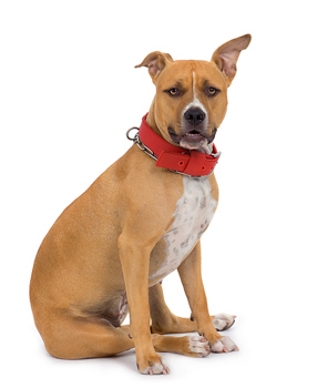Studio portrait of American Staffordshire terrier dog