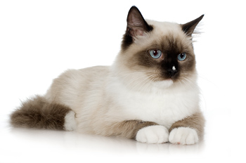 Studio portrait of Siamese kitten