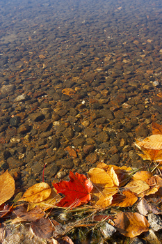 Autumn leaves on water at lake shore