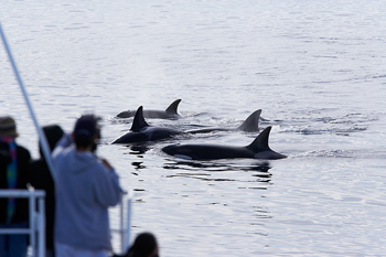 Watching killer whales from boat