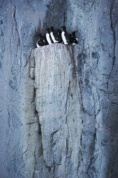 Thick-billed murre birds nesting on ledge on cliff