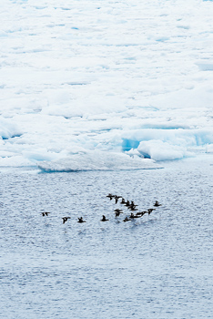 Seabirds flying in formation over drift ice in the Arctic