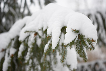 Snow on bough of spruce tree