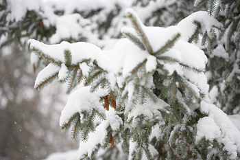 Snow on boughs of spruce tree