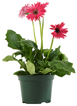 Red flowers in flowerpot