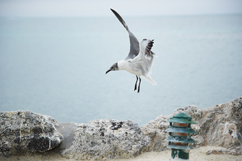Laughing gull hovering over rocks in Miami, Florida