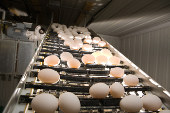 Mechanized egg candling conveyor facility
