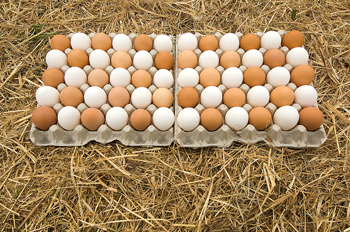 Two trays of fresh eggs on hay bale