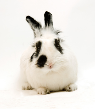 Studio portrait of black and white bunny