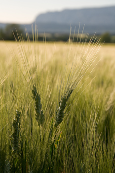 Close-up of wheat in field in France