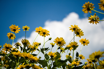 Sunflowers blooming with blue sky